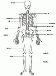 Human Bones And Names Names Of All The Bones In The Skeletal System Human Skeleton All - ANATOMY BODY DIAGRAM